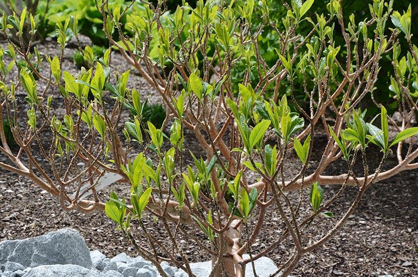 """Sophora japonica /""""Pendula/"""" seltene Hängeform vom japanischen Schnurbaum"""
